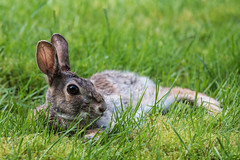 Hey there (jeff's pixels) Tags: rabbit bunny animal cute flirt nature adorbs flickr adorable view grass ears nikon woods lawn spring summer lounging