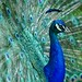 C'est qui le plus beau ? (Laurent Sallot) Tags: bleu blue paon