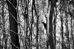 Woodpecker - Sony A7r (magnus.joensson) Tags: sweden swedish winter february snow blackandwhite woodpecker wood forest sony a7r sonyfe702004 handheld digital