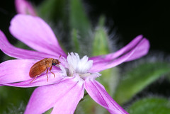 flower and beetle (joolz70) Tags: nikon d200 105mm dg sigma nature outdoors pink flower insect macro