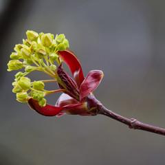 Mapple (Bloui) Tags: 2017 botanicalgarden eos7d jardinbotanique roseraie april printemps spring montréal québec flowers tree bloom macro branch square