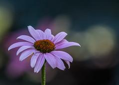 """Purple Coneflower Bokeh #2"" by Patti Deters (Patti Deters) Tags: echinacia flower echinacea purpleconeflower bloom blooming pink single minimal petals horizontal botany daisy one flora nature copyspace"