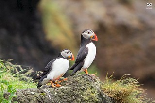 Papagaio-do-mar, Atlantic puffin (Fratercula arctica)