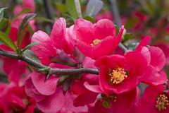 IMG_0357 (vargabandi) Tags: chaenomeles vargabandi garden red blossom