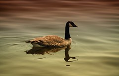 HSS! Canada goose (shannon4462) Tags: geese canadagoose waterfowl reflection water hss