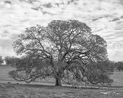 Old Blue - Amador County, California (Tactile Photo | Greg Mitchell Photography) Tags: california oaktree sacramentocounty foothills chamonix monochrome bnw largeformat rollinghills loneoak delta100 blackandwhite film irishhillroad