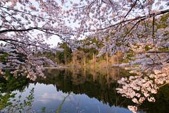 IMGP1140.jpg (Naoki Natsume/Ishii , 夏目直樹 ,石井直樹) Tags: sakura naokiishii lenz sigma fukushima flower camera japan pentax location human sigma1020mmf35exdchsm pentaxk3