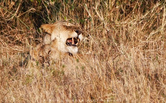 Slow afternoon (simonjmarlan) Tags: lions serengeti africa wildlife cute cats
