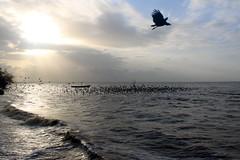 Migration (OlivierPig) Tags: blue sunset sunlight summer beach birds animals migration coucher de soleil soir evening crépuscule light lumière vol flight fly