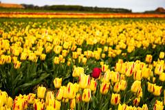 IMG_1880 (Eupeodes) Tags: bloemen bollenveld texel tulpen
