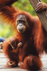 Bohorok Orangutan Centre (Thomas Roland) Tags: bohorok orangutan centre bukit lawang jungle forest ape abe orang utan primate sancturary national park nikon f301 kodachrome 64 indonesia travel sumatra