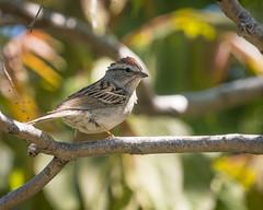 Chipping Sparrow (Becky Matsubara) Tags: bird birds blackdiamondminesregionalpreserve california chippingsparrow eastbayregionalparks sparrow nature wildlife spizellapasserina blackdiamond ebrp ebparksok