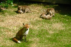 Mum Ignores the Wrestling Beasties (David Thousand Words) Tags: fox foxes foxcubs nature wildlife bbcspringwatch deal kent england uk volpi volpe spring springwatch