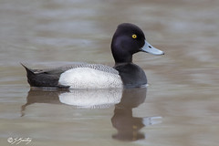 Lesser Scaup (skersting66) Tags: birds duck animals wildlife scaup male lesserscaup