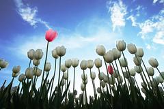 Springtime (martinyanakiev) Tags: tulips white pink flowers sofia bulgaria