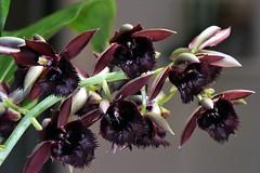 Catasetum J and R Solar 'RIPA' (species orchids) Tags: catasetumjandrsolarripa orchids plants botanical