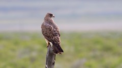 swainson's hawk (quadceratops) Tags: utah nature swainsons hawk buteo howell