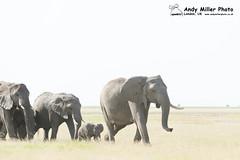 20160216-16-29-53_A014921 2000px (ajm057) Tags: 8takenusing africa africanelephantloxodontaafricana africanbushelephantloxodontaafricana amboselinationalpark andymillerphotolondonuk elephantidaeelephants kenya loxodonta mammal nikond4s proboscideaelephants reservesparks wildlifephotography kajiado ke african elephant