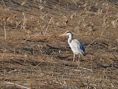 Come what may (KaarinaT) Tags: harmaahaikara greyheron reeds bay seashore viikki helsinki finland feathers standing waiting