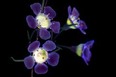 Leptospermum 6 (C. Burrows) Tags: uvivf glowing nature flower manuka teatree