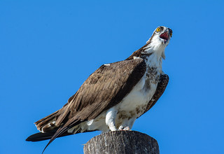 Osprey calling from atop a utility pole. Osprey, Pandion Haliaetus, Balbuzard Pêcheur, Gavilán Pescador