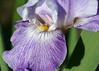 DSC08606 (Shutter_Hand) Tags: texas usa miguelmendozamuñoz clarkgardens botanicalpark weatherford mineralwells secretgarden parquebotánico jardinbotánico botanico jardin jardinsecreto texasgem texasjewel lenscraft sonyaf100mmf28macro macro sony alpha a99 sonyalphaa99 slta99 flor flower fleur iris flordelis