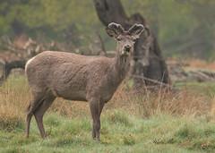 Red-Deer-5959 (Kulama) Tags: reddeer deer stag animals nature wildlife woods land grass bracken spring morning canon7dmarkii sigma150600563c