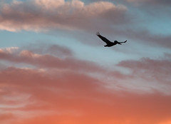Sunset Pelican (jimbobphoto) Tags: suns sunset pelican bird california clouds sky beak