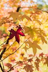 Autumn-stars_DSC8603 (Mel Gray) Tags: wollombi autumn fall fallcolours autumnleaves autumncolours hunterregion huntervalley australia newsouthwales