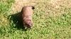 QV4A8402b (RobJHarrison) Tags: stoat unitedkingdom england curryrivel backlane nature mammals exportflag