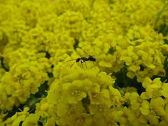 Ant, Yellow Alyssum (AzhPhotos) Tags: flower alyssum yellow ant