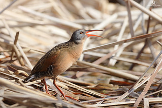 Virginia rail - Râle de Virginie - Rallus limicola