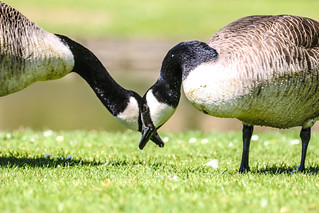 goose (whos) eye (line) is it anyway. zoom on the face to see why!!