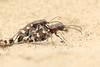 Bastaardzandloopkever - Cicindela hybrida - Northern Dune Tiger Beetle (merijnloeve) Tags: bastaardzandloopkever cicindela hybrida northern dune tiger beetle macro meijendel zuidholland kievitsduin kijfhoek nederland holland bug kever beetles kevers tor torretje zand sun nature natuur wassenaar copula