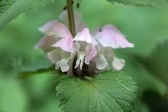 Lamium album var. barbatum (Ichigo Miyama) Tags: オドリコソウ lamiumalbumvarbarbatum シソ科 lamiaceae オドリコソウ属 lamium flower plant