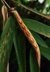 Opoptera staudingeri, last instar larva. (Cubero 57.) Tags: barva de heredia costa rica 1800 mts opoptera staudingeri larva