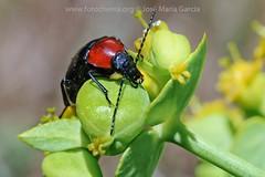Escarabajo de tórax rojo (fotochemaorg) Tags: