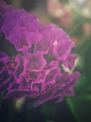 Purple blossom (bs1ffm) Tags: beautiful blossom blüte blüten lila purple nature new natur plants pflanzen pflanze blumen flower flickr outdoor germany photography frühling spring iphonepic iphone art hessen makro macrophotograhy macro olloclip