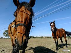 MOSCAS (joxe@n) Tags: joxenfoto joseantonioandresgomez caballo caballos aviones aybalaostia campo