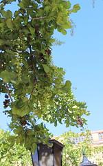 Tuckeroo (Cupaniopsis anacardioides) (Poytr) Tags: tuckeroo sapindaceae centralstation sydney nsw tree arfp nswrfp qrfp arfstreettree cupaniopsisanacardioides cupaniopsis arfflowers whitearfflowers