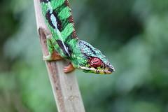 diego_autre faune & flore terrestre_10 (madatreasureisland) Tags: madagascar diego autre faune terrestre