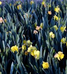 Daffodils (T's PL) Tags: blacksburgva daffodils flowers nikond7200 nikon d7200 nikondslr tamron18270mmf3563diiivcpzd tamron18270 tamron nikontamron flowerbed