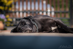 Cane Corso girl resting on the yard means it's really springtime (Neferkheperure) Tags: dog canecorso blackdog resting relaxing lowangle outdoors sunny spring springtime