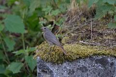 Auf meinem Brunnen (reipa59) Tags: brunnen moos natur bird vogel ransweiler rheinlandpfalz
