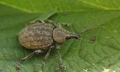 Otiorhynchus ligustici_9577 (Henrik Gyurkovics) Tags: otiorhynchusligustici otiorhynchus curculionidae snoutbeetles beetles coleoptera weevils hungary