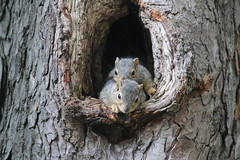 341/365/3263 (May 18, 2017) - Squirrels in Ann Arbor at the University of Michigan (May 18th, 2017)