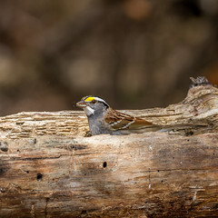 White-throated Sparrow (brucegates) Tags: canon7d sigma150600 ontario sudbury birds brucegates colour whitethroatedsparrow