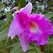 San Ignacio - Large Flowered Sobralia
