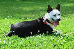 Calli in backyd (JF Naquin) Tags: blurred mediumquality dog pet pitbullmix mixbreed springtime