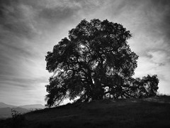 Mine Hill Tree (StefanB) Tags: 2017 bw california geotag nexus6p outdoor santateresacountypark tree treescape